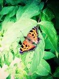 Closeup shot of nettle butterfly. Nettle butterfly on green leaf of a stock photos