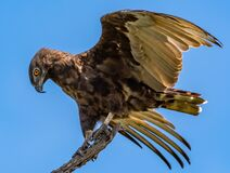Free Closeup Shot Of A Brown Snake Eagle Landing On Wood Under The Sunlight And A Blue Sky At Daytime Royalty Free Stock Photo - 188424695