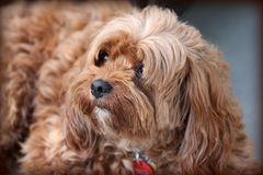 Free Closeup Shot Of A Cute Brown Long-coated Puppy Ready To Cuddle And Have Fun Stock Image - 161141331