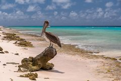 Free Closeup Shot Of A Cute Brown Pelican Standing On A Tree Root At The Beach In Bonaire, Carribean Royalty Free Stock Photography - 166281217