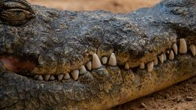 Free Closeup Shot Of The Alligator With Huge Teeth On The Sand - Perfect For Background Royalty Free Stock Photography - 178891897