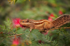 Closeup Shot of a Palm Squirrel in India Stock Image