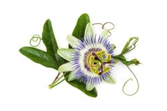 Passion flower on white. Closeup shot of passion flower isolated on white background royalty free stock photo