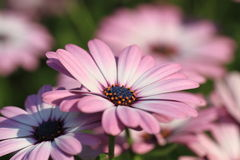 Closeup shot of pink arctotis flower Stock Images