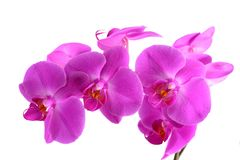 Closeup shot of pink orchid on white background Stock Image