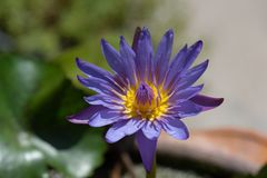 Closeup shot of purple waterlily blooming Royalty Free Stock Photography