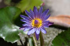 Closeup shot of purple waterlily blooming Stock Images