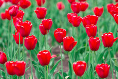 Closeup shot of red tulips Royalty Free Stock Image