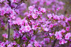 Closeup shot of Rhododendron dauricum flowers Stock Images