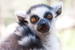 Closeup shot of Ring Tailed Lemur. Ring Tailed Lemur looking directly into the camera stock images