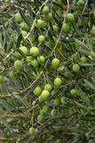Green olives on a tree. Closeup shot of ripening green olives on a tree branches Stock Photography