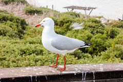 Closeup Shot of Seagull in Penguin Island in Perth, Western Australia Stock Photo