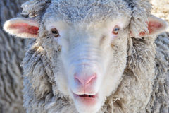 The closeup shot of the sheep Stock Images