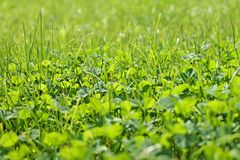 Closeup shot on spring green grass. Clover background close up. Spring lawn stock image
