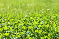 Closeup shot on spring green grass. Clover background close up. Spring lawn royalty free stock photos