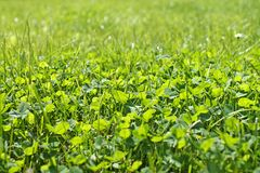 Closeup shot on spring green grass. Clover background close up. Spring lawn stock photo