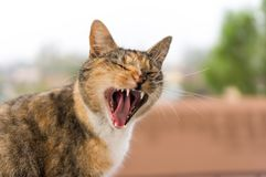 Tabby Cat Yawning. Closeup shot of a stray tabby cat yawning royalty free stock images