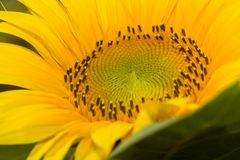 Closeup shot of a sunflower Stock Photography
