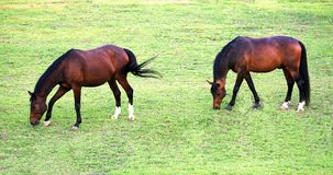 Two jumping horses feeding in a green pasture. A closeup shot of two beautiful jumping horses feeding in a green pasture stock images