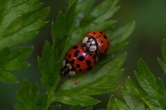 Closeup shot of two ladybugs mating on a green leaf
