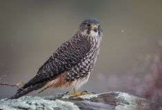 Closeup shot of a Wild New Zealand native falcon Karearea perched on a rock