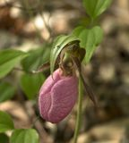 Wild Pink Lady`s Slipper Flower - Shenandoah National Park, Virginia, USA stock photo