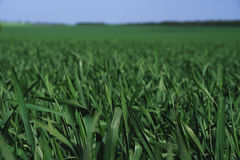 Closeup shot of the young bright green corn field Stock Image