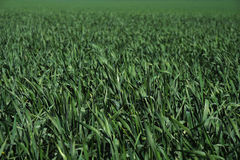 Closeup shot of the young bright green corn field Stock Photography