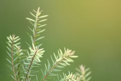 Closeup shot of young green juniper needle leaf foliage shooting up in air with blur green background. And morning ray light shining from top. Copy space stock photos
