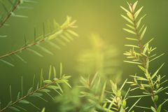 Closeup shot of young green juniper needle leaf foliage shooting up in air with blur green background. And morning ray light shining from top. Copy space stock images