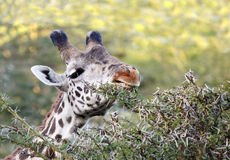 Closeup showing the wounds on the mouth of Giraffe Royalty Free Stock Image