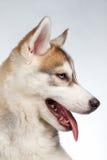 Closeup Siberian Husky Puppy on White Royalty Free Stock Photo