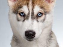 Closeup Siberian Husky Puppy on White Stock Image