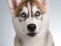 Closeup Siberian Husky Puppy on White Stock Photography