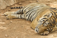 Closeup of a in Siberian tige Royalty Free Stock Image