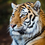 Closeup of a Siberian tiger Stock Photo