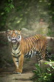 Closeup of a Siberian tiger Royalty Free Stock Image