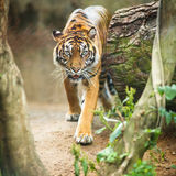 Closeup of a Siberian tiger also know as Amur tiger Stock Image