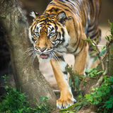 Closeup of a Siberian tiger also know as Amur tiger Stock Photography