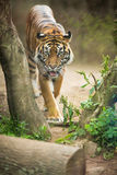 Closeup of a Siberian tiger also know as Amur tiger Stock Photos