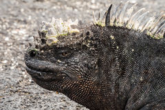 Closeup of the side of the head of a marine iguana. Stock Image