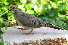 Closeup side shot of mourning dove. Stock Photo