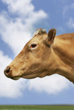 Closeup Side View Of Brown Cow Against Sky Stock Images