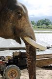 Closeup side view of elephant face with tusks removed Stock Photography