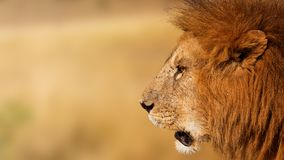 Closeup African Lion Profile Banner Stock Images