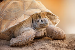 Closeup Side View of Galapagos Tortoise Royalty Free Stock Images
