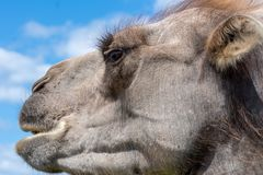 Closeup side view of a light brown camel head Stock Photos
