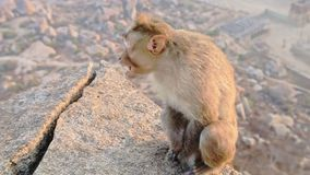 Closeup Side View Monkey Sits on Stone and Eats. Closeup side view little grey monkey sits on high cliff stone and eats against city ruins in ancient Lakshmi stock video