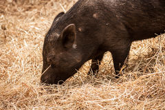 Closeup and Side View of Pig, Eating Hay Stock Photography