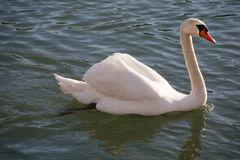 Closeup side view portrait of a mute swan cygnus olor Royalty Free Stock Photos